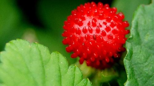 蛇莓真的不能吃吗?