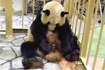 日本乐园大熊猫老来得子 更新除中国外熊猫最