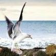 冲浪的海鸥