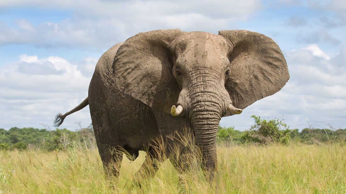 给大象戴一个可以直接报警的项圈就可以反盗猎?