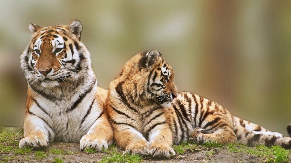 【世界爱虎日】日渐式微的万兽之王,它的路还能走多久?