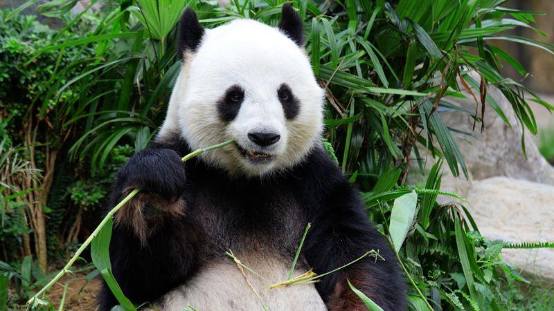 濒危物种那么多,你为啥偏爱大熊猫?的头图