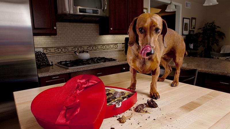 为什幺不能给狗吃巧克力?