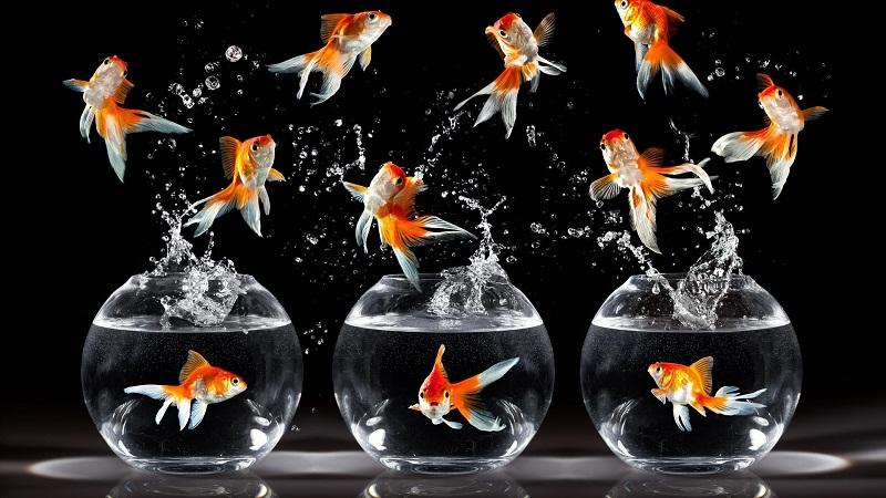 金鱼会把自己撑死吗?