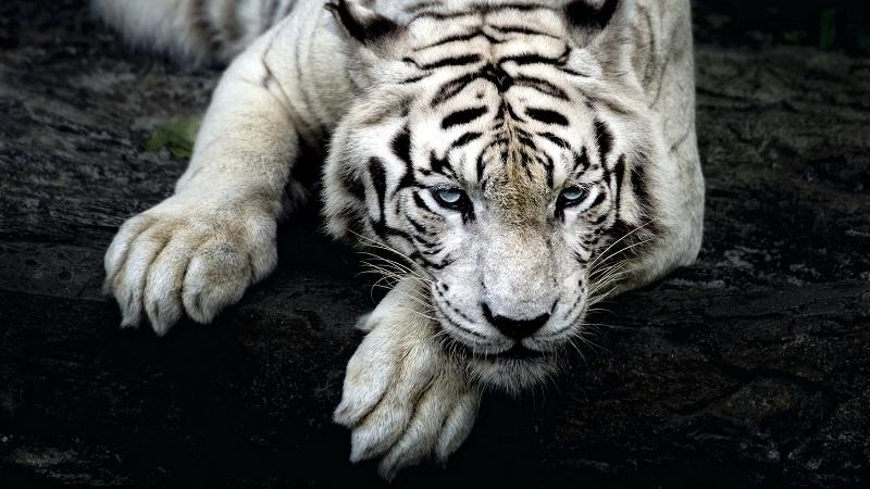 那些被童話了的動物:白虎,神話或是鬼話?