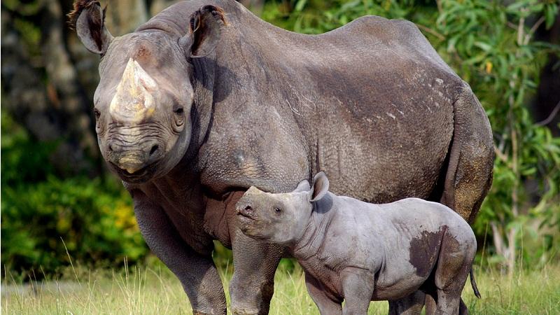 保护犀牛,锯掉犀角?
