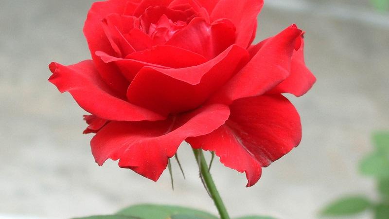 情人節送花指南:你選的是月季還是玫瑰?